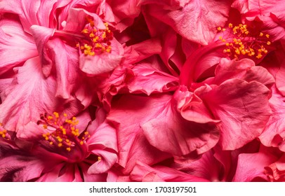 Double headed Pink Hibiscus Flower Background. Beautiful China Rose flower Background. Blooming Hibiscus Flower Background.