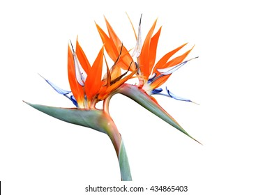 Double headed strelitzia or bird of paradise flower isolated on white background