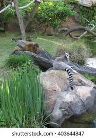 Double Lemurs
