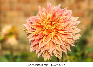 Double Orange Dahlia flower