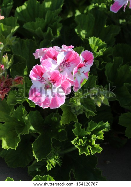 Double pale pink and white flowers of a decorative  pelargonium species  blooming throughout the year add  color to the  garden scape in spring.