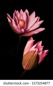 Double pink lotus flower against dark black background reflect calmness and meditation