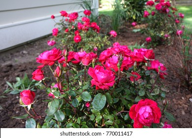 Double Red Knockout Roses