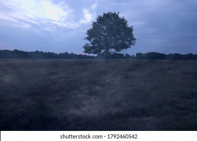 Double shot of a solitary oak on the heather in Dwingelderveld, The Netherlands