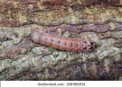 Double Square-spot (Xestia triangulum) moth caterpillar. Sitting on bark.