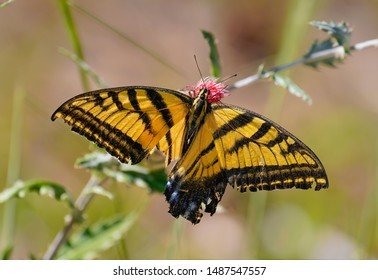 A Double Swallowtail Butterfly drinking pollen from a desert flower. His lower wings have been badly damaged, but he is still surviving.