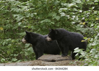 Double Trouble.  Two black black bear cubs (Ursus Amricanus) looking for mischief,  gaze intently across forest.