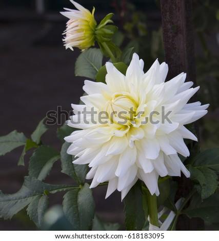 Double White Dahlia Flowers Genus Bushy Stock Photo Edit Now