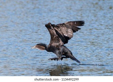 Double-crested Cormorant collecting nesting material.