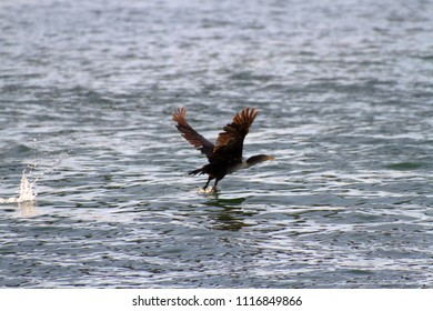 The Double-crested Cormorant, common in Florida, is a black water bird with a double crest plumage and very blue eyes.  Here it is taking flight off the water in Clearwater Bay, Florida.