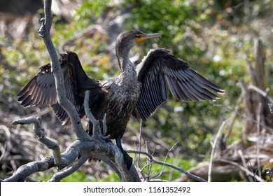 A Double-crested cormorant in a familiar pose as it needs to dry out it's wings after spending time in the water searching for fish. A common seabird along inland waterways and coastal areas.