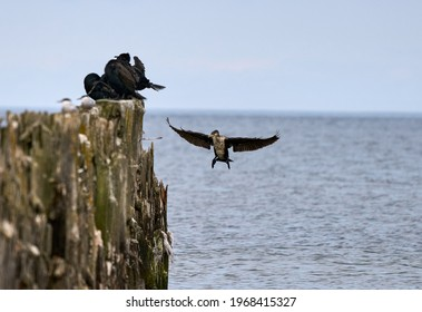 Double-Crested Cormorant Flying in a Blue Sky - Shutterstock ID 1968415327