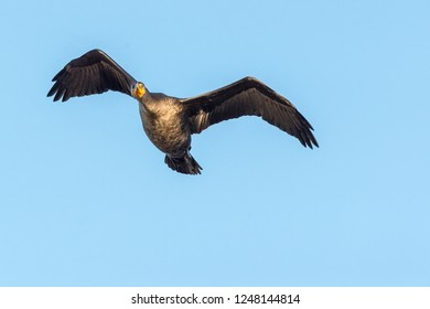 Double-crested Cormorant flying overhead analyzes upcoming flight path