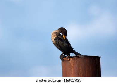 Double-crested Cormorant (Phalacrocarax auritus) in winter non-breeding pumage, Gabriola, British Columbia, Canada