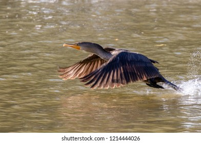 Double-crested cormorant (Phalocrocorax auritus), non-breeding plumage, taking off from water, Iowa, USA.