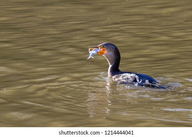 Double-crested cormorant (Phalocrocorax auritus), non-breeding plumage, with a prey fish, Iowa, USA.