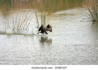 Double-crested Cormorant taking off from lake