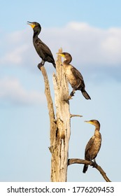 Double-crested Cormorants standing dead tree against cloudy sky