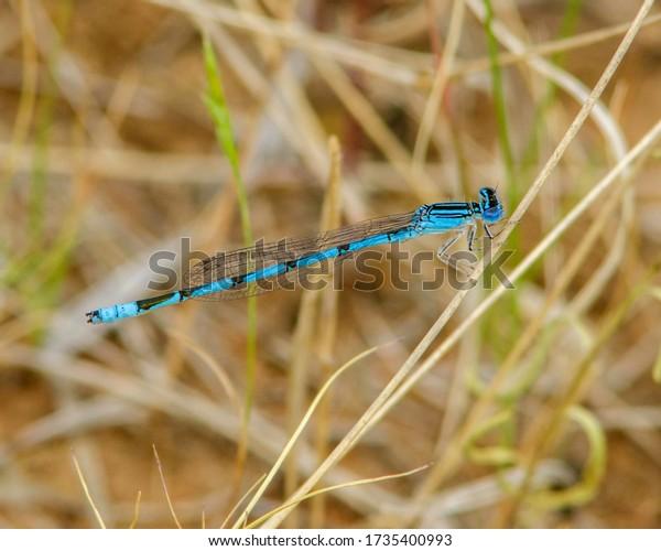 Double-striped Bluet damselfly in southwestern Oklahoma