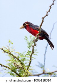 Double-toothed barbet (Lybius bidentatus) perched on thorny acacia tree branch