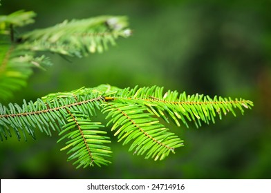 Douglas fir branch
