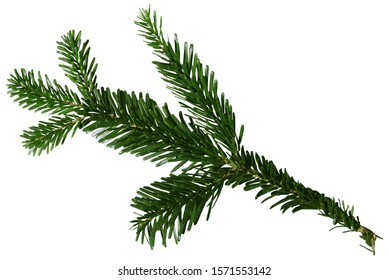 Douglas Fir Branch isolated on white background