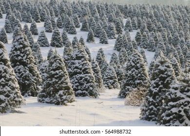 Douglas Fir, Christmas Tree Farm Covered in a Blanket of Snow, a Winter Wonderland, Trees Shown is Soft-Focus in Background, Daytime - Willamette Valley, Oregon (HDR Image)