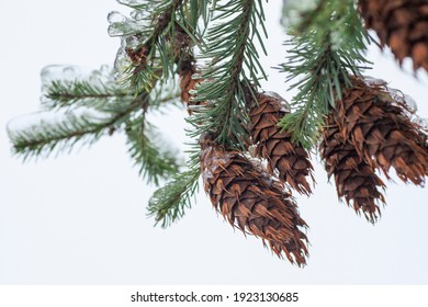 Douglas fir covered by ice shell