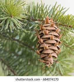 Douglas fir evergreen cone on branch of tree