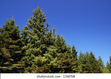 Douglas fir forest in Oregon near coast