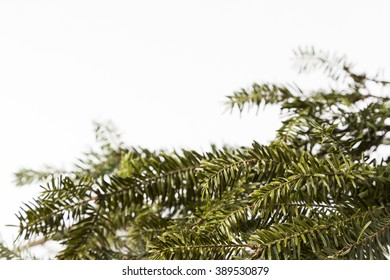 Douglas Fir Needles on bright Background