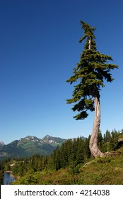 douglas fir on the mountain, mt. baker park