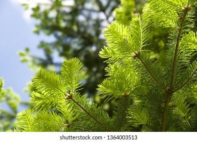 Douglas Fir (Pseudotsuga menziesii): new growth on a mature Douglas fir, or Oregon Pine tree