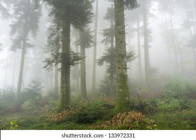 Douglas Fir trees in a foggy forest, Chabannes, La Creuse, Limousin, France