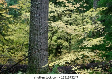 Douglas fir and vine maples, Fall colors Aufderheide Scenic Byway, Willamette National Forest, Oregon, USA