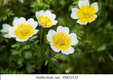Douglas Meadowfoam, Limnanthes Douglasii flower closeup.