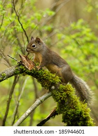 A Douglas' squirrel pauses briefly on a moss-covered branch before scampering up a tree.