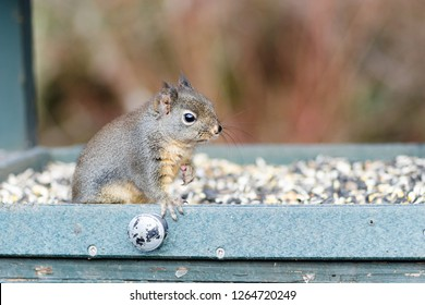 Douglas squirrel sitting on birdseed