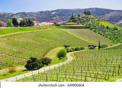 Douro Valley. Vineyards and olive trees near Pinhao, Portugal