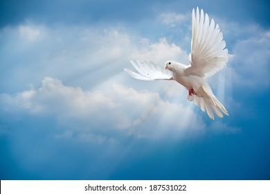 Голубь в воздухе с открытыми крыльями перед солнцем