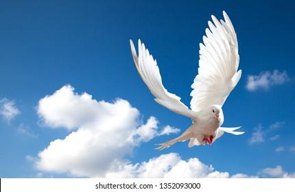 dove in the blue sky