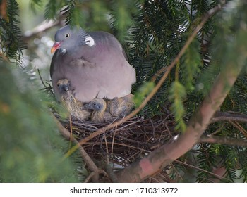 Dove and Chicks in the nest