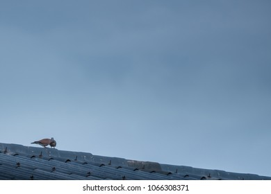 A dove couple courting on the tile roof