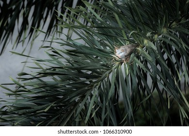 A dove covering her eggs in the nest on the palm twig