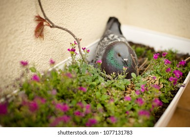 Dove incubating the eggs in the pot with flowers on balcony