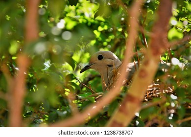 A dove in the nest in the jaboticaba tree