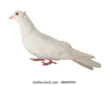 dove on a grey background