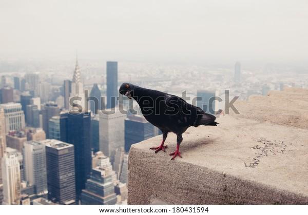 dove-on-roof-new-york-600w-180431594.jpg