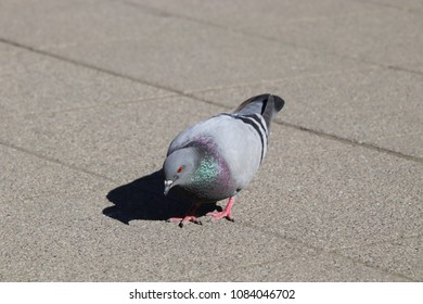 dove on a street