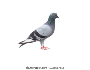 The dove on white background. isolate clipping path